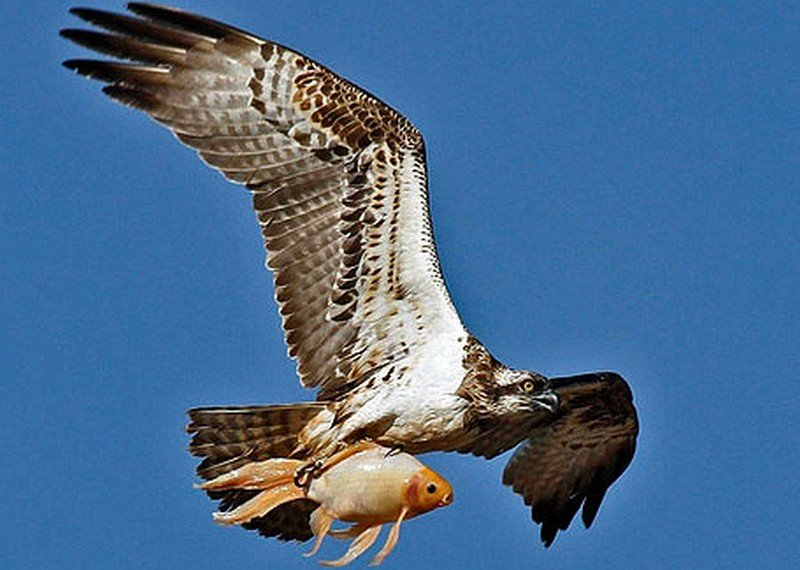 jean claude 39 s news un gros oiseau un petit poisson