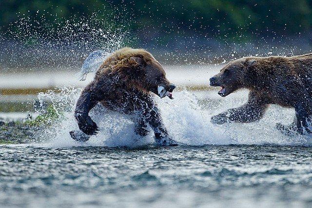 grizzli.jpg