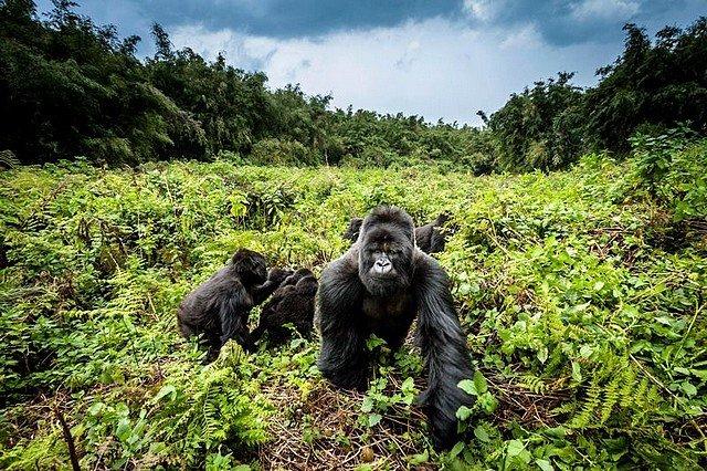 GARE AU GORILLE dans INSOLITE gorilles