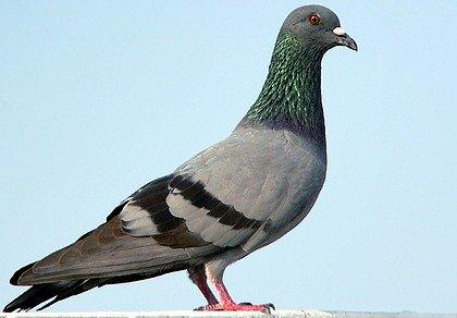 LE SAVIEZ-VOUS ? dans LE SAVOIR INUTILE pigeon