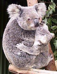 SAVIEZ-VOUS ? dans LE SAVOIR INUTILE koala1