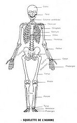 LE SAVIEZ-VOUS ? dans LE SAVOIR INUTILE squelette