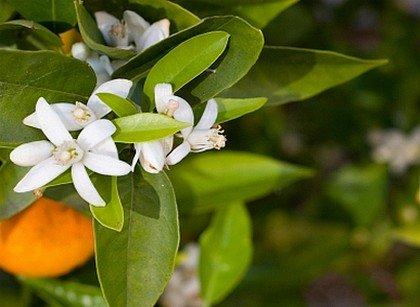 10 PLANTES POUR BIEN DORMIR (4) dans BIEN ETRE oran-